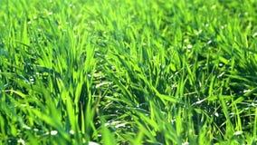 Unga groddar är på fältet på solnedgången selektiv green för closeupfokusgräs lager videofilmer