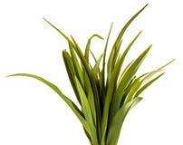 Unga groddar av daylilyblommor green leaves Isolerat p? vit royaltyfria foton