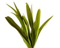 Unga groddar av daylilyblommor green leaves Isolerat p? vit royaltyfri fotografi