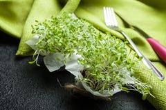 Unga groddar av mikro-gräsplan sallad Förbättring av kroppen från toxin royaltyfria foton