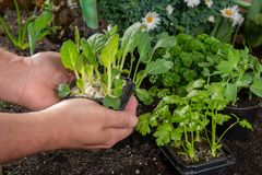 Unga groddar av pak choi eller pak choy som planteras i jordningen i t Royaltyfri Fotografi