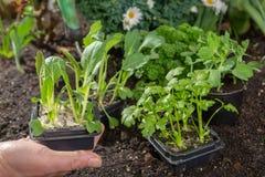 Unga groddar av pak choi eller pak choy som planteras i jordningen i t Royaltyfria Bilder