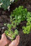 Unga groddar av pak choi eller pak choy som planteras i jordningen i t Arkivbilder