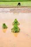 Unga groddar för klibbiga ris Fotografering för Bildbyråer