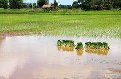Unga groddar för klibbiga ris Arkivfoton