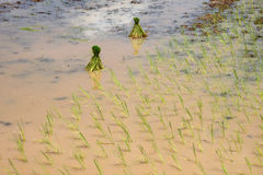 Unga groddar för klibbiga ris Royaltyfri Foto