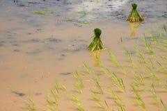 Unga groddar för klibbiga ris Arkivbilder