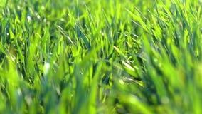 Unga groddar ?r p? f?ltet selektiv green f?r closeupfokusgr?s lager videofilmer