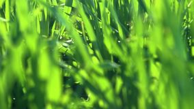 Unga groddar ?r p? f?ltet selektiv green f?r closeupfokusgr?s arkivfilmer