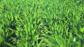 Unga groddar ?r p? f?ltet selektiv green f?r closeupfokusgr?s stock video