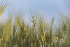 Unga guld- öron av vete med blå himmel på bakgrund Fotografering för Bildbyråer