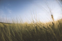Unga guld- öron av vete med blå himmel på bakgrund Royaltyfri Bild