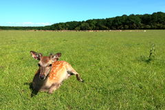 Unga gulliga hjortar Royaltyfria Bilder