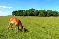 Unga gulliga hjortar Royaltyfri Bild