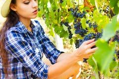 Unga härliga kvinnaplockningdruvor i vingård under harve arkivfoto