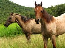 Unga hästar Arkivbilder