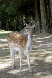 Unga hjortar i ett fält Fotografering för Bildbyråer