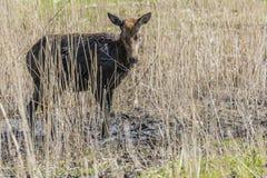 Unga hjortar i gyttjan Arkivfoton