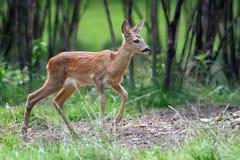 Unga hjortar i skog Arkivbilder