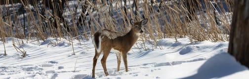 Unga hjortar i snö royaltyfria bilder