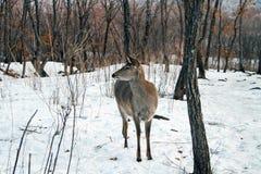 Unga hjortar i vinterskog Arkivbilder
