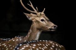 Unga hjortar med svart bakgrund royaltyfria foton