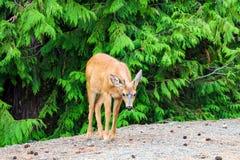 Unga hjortar nära vägen Sommardjurlivlandskap med ett avkopplat djurliv i natur royaltyfria foton