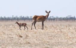 Unga hjortar och får arkivfoton
