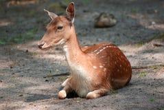Unga hjortar på skoggolvslut upp Royaltyfri Fotografi