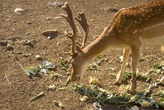 Unga hjortar som äter grönsaker Hjortar är den traskade idisslande mamman royaltyfri bild