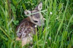 Unga hjortar som ligger på en äng Sommarfaunor och flora Arkivbild
