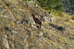 Unga hjortar som tas på en stenig yttersida royaltyfri bild