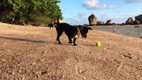 Unga hundlekar med tennisbollen på stranden arkivfilmer