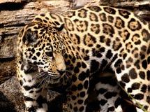 Unga Jaguar på den Jacksonville zoo, Jacksonville, FL Arkivbilder