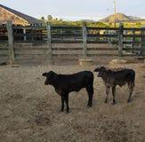 Unga kalvkor i lantgården arkivfoto