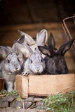 Unga kaniner POP ut ur en hutch royaltyfri foto