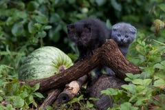 Unga kattungeplatser för skotskt veck Royaltyfri Foto