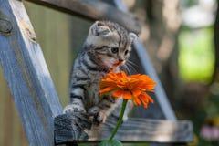 Unga kattungeplatser för skotskt veck Fotografering för Bildbyråer