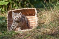 Unga kattungeplatser för skotskt veck Arkivfoton