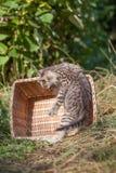 Unga kattungeplatser för skotskt veck Arkivfoto