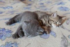 Unga kattungesömnar för skotskt veck Royaltyfri Foto