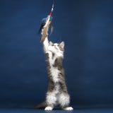 Unga Kitten Cat som spelar med fjäderleksaken Royaltyfri Foto
