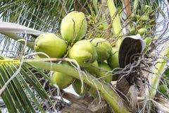 Unga kokosnötter Arkivbilder