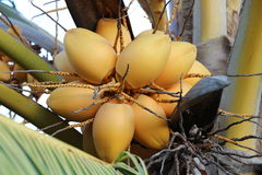 unga kokosnötter Arkivbild