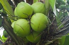 Unga kokosnötter. Arkivbilder