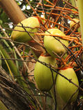 Unga kokosnötter på trädet Arkivfoto