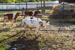Unga kor på lantgården bak staketet som ser kameran arkivbilder