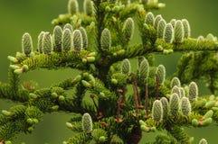 Unga kottar av en röd gran, Picea Rubens, Adirondack Forest Preserve, New York, USA fotografering för bildbyråer