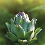 Unga kronärtskockaväxter växer i ett fält royaltyfri fotografi