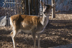 Unga kvinnliga hjortar i stadszoo Royaltyfria Foton